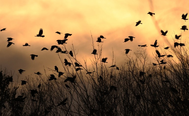 A roost of crows at sunset in Manchester new Hampshire